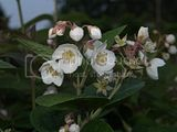 Philadelphus delavayi